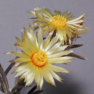 Astrophytum caput-medusae - Image: Astrophytum caput medusae IMG 0583