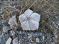 Astrophytum myriostigma (5699842090).jpg