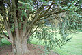 Atlas Cedar Cedrus atlantica 'Glauca' Tree Base 3008px.JPG