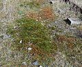 Atrichum angustatum or Star Moss, Lugton.JPG