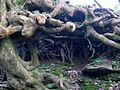 Auchenskeith tree roots.jpg