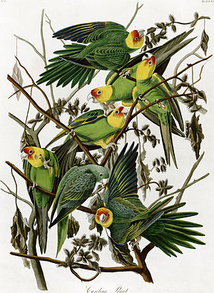 Carolina parakeet - Illustration by John James Audubon