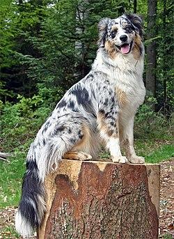 Category:Australian Shepherd - Wikimedia Commons
