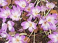 Autumn Crocus (29464481087).jpg