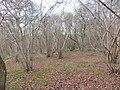 Aversley Wood - Sawtry - December 2015 - panoramio.jpg