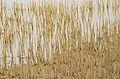 Avicennia marina - Nabq by Hatem Moushir 12.JPG
