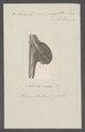 Avicula semisagitta - - Print - Iconographia Zoologica - Special Collections University of Amsterdam - UBAINV0274 075 10 0004.tif