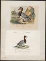 Aythya ferina - 1700-1880 - Print - Iconographia Zoologica - Special Collections University of Amsterdam - UBA01 IZ17700025.tif