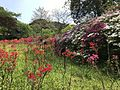 Azalea flowers in Mifuneyama Garden 5.jpg