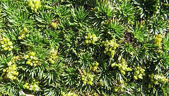 Páramo - Azorella pedunculata