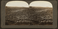 Baa! baa! baa! 3,000 sheep astray on a mountain range, U.S.A, by Keystone View Company.png