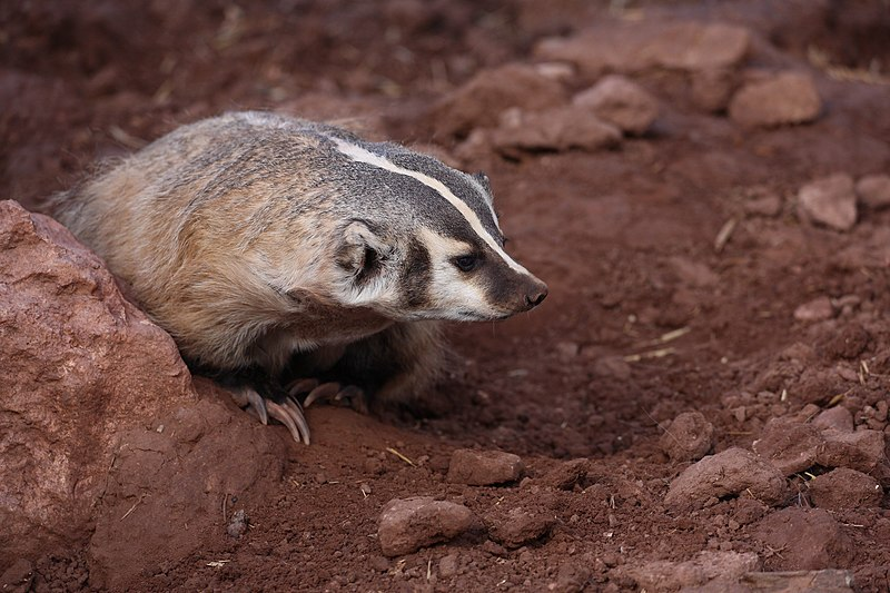 File:Badger (35181378885).jpg