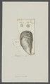Balanus hurella - - Print - Iconographia Zoologica - Special Collections University of Amsterdam - UBAINV0274 101 02 0013.tif