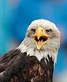 Bald Eagle Fuerstenfeldbruck 2014 -2.JPG