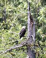Bald Eagle in Alaska (1751247942).jpg