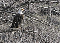 Bald eagle tree myatt (5489809252).jpg