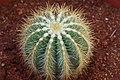 Baloon cactus.jpg