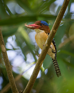 Banded kingfisher species of bird