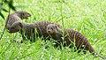 Banded Mongooses (Mungos mungo) (39671013913).jpg