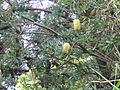 Banksia integrifolia (Flowers).jpg
