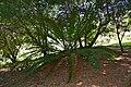 Barberton Cycad (Encephalartos paucidentatus) (32830010052).jpg
