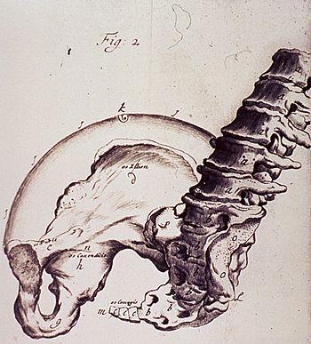spine and hip bones