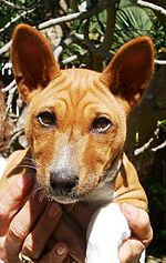 A portrait of a basenji pup, showing the breed's characteristically wrinkled forehead.