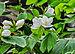 Bauhinia acuminata 05052014 (1).jpg