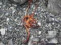 Beached kelp Norway overview.JPG