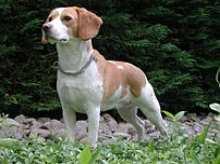 Voici Upsy, un beagle femelle bicolore, de 2 a...