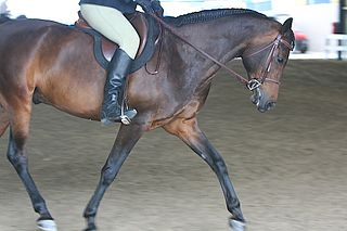 Morab horse breed