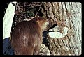 Beaver at freshly chewed tree. 111978. slide (6750ab78dc0749bda3f641be75c3c256).jpg