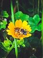 Bee and flower1.jpg