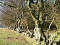 Beech trees, Manmoel - geograph.org.uk - 638206.jpg