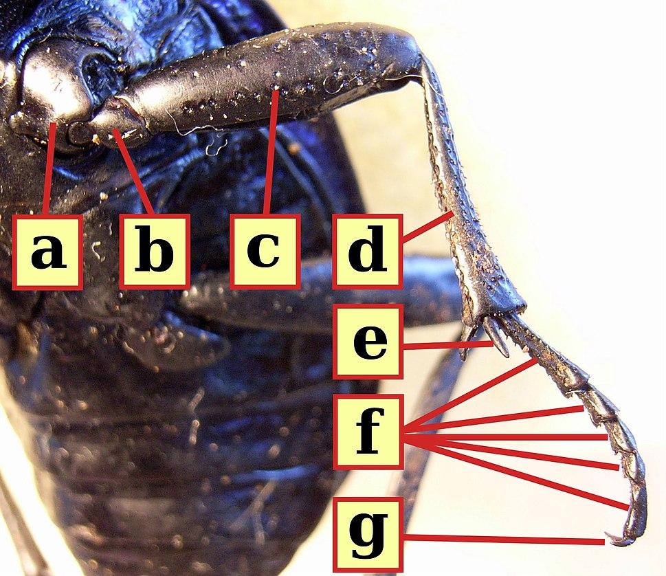 Beetle middle leg