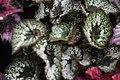 Begonia (22).jpg