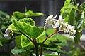 Begonia cubensis GotBot 2015 002.JPG