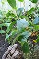 Begonia loranthoides subsp. loranthoides-Jardin botanique de Berlin (2).jpg