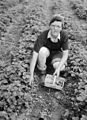 Bellis Brothers Ltd strawberry farm at Holt (7837635126).jpg