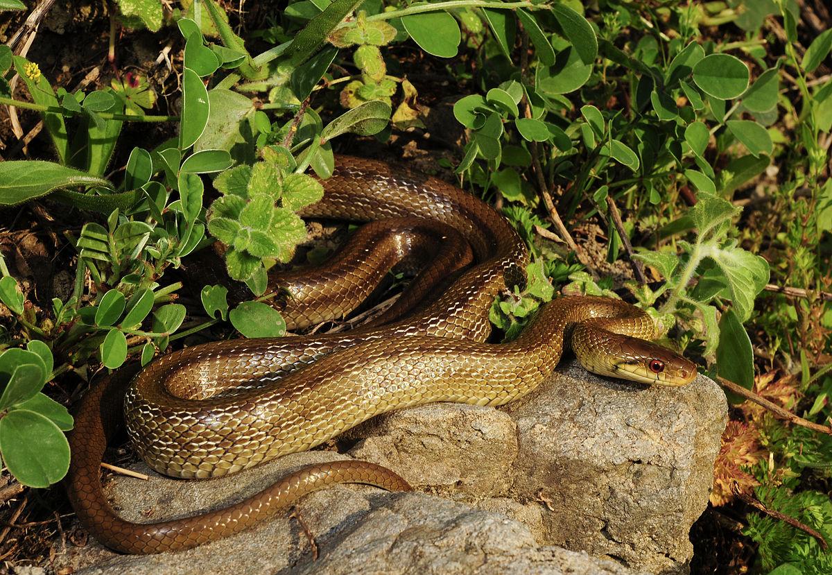 Schlangen Italien