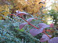 Berberis leaves.JPG