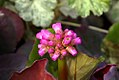 Bergenia Edens Magic Giant 1zz.jpg