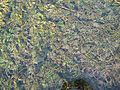 Berne botanic garden Groenlandia densa.jpg