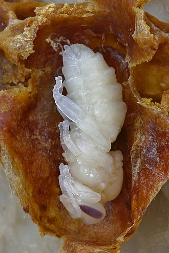 Queen bee - Capped queen cell opened to show queen pupa (with darkening eyes).