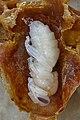 Bienenkoenigin im Puppenstadium 99b.jpg