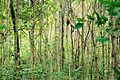 Birch trees (25149306735).jpg