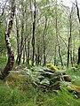 Birch woods, Airigh Fhionndail - geograph.org.uk - 894836.jpg