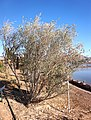 Bird Watching Park - olive tree.jpg