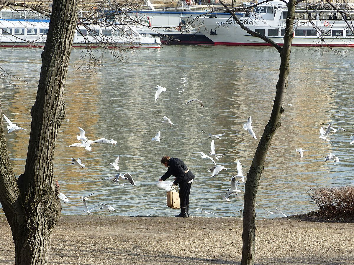 Bird feeding - Margaret Island.jpg