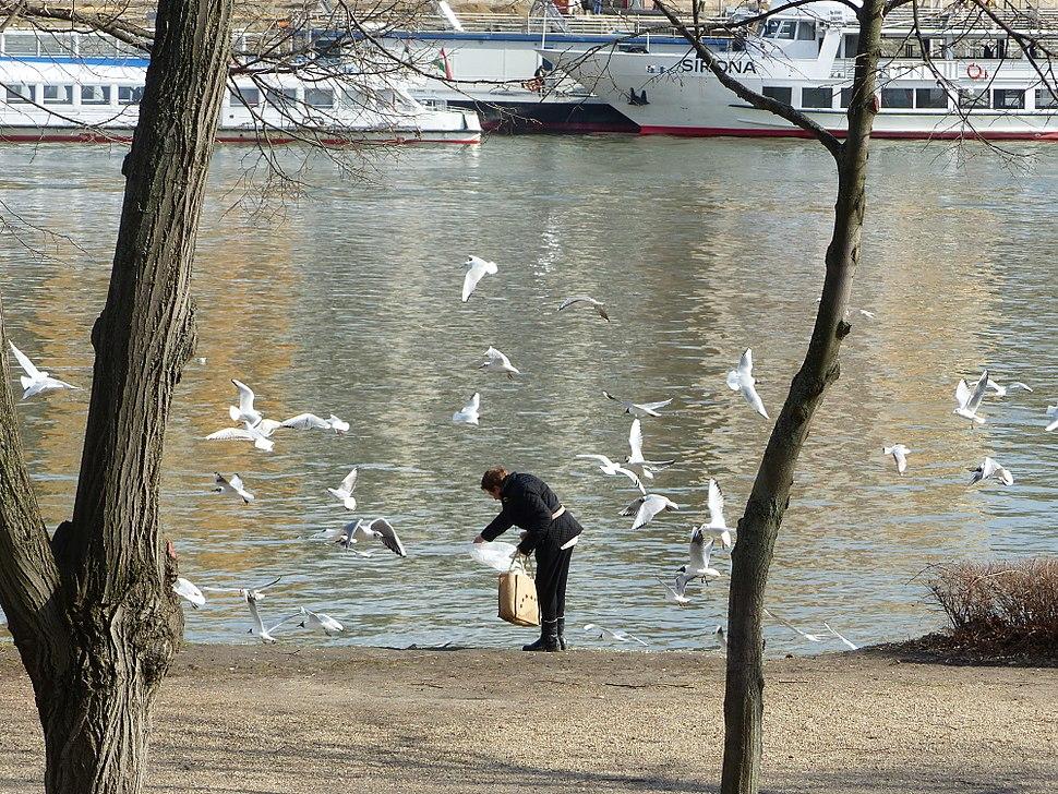 Bird feeding - Margaret Island